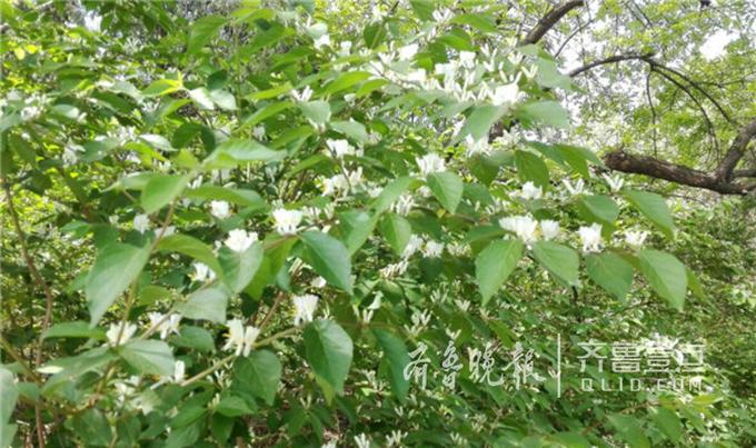 这种花的花朵是洁白的,有着嫩黄色的花蕊,没开放的花骨朵看上去像槐花的花骨朵,一簇簇的开在灌木丛中特别显眼。