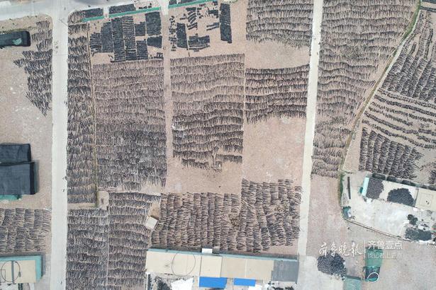 工人们将晾晒的海带整齐摆放,规整的像一垄垄田地。
