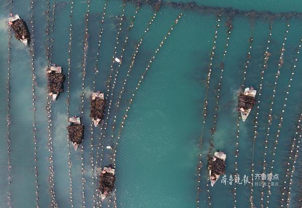 收割工人在海上收割海带。