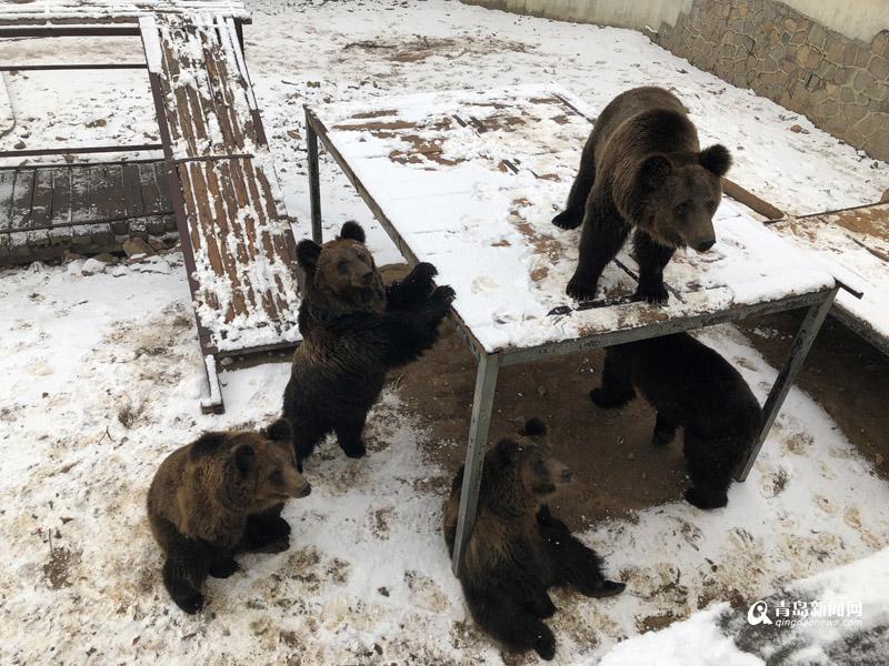 """2019年第一场雪让静谧的青岛森林野生动物世界银装素裹,生活在动物园的动物们也""""开心坏了"""",或雪中漫步觅食、或优雅地赏雪景,别有一番情趣。(青岛新闻网)"""