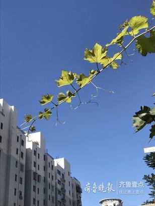 今天的天空是可爱的,蓝的不像话,蓝到没朋友,天晴得像一张蓝纸,绿叶随风缓缓的浮游着,秋高气爽,天高云淡,别有一番美景在眼前。