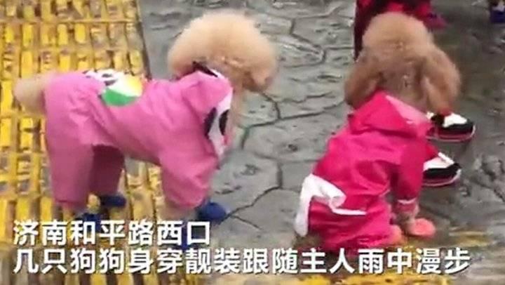 果然视频|雨中的狗狗还有专属雨衣,有点萌