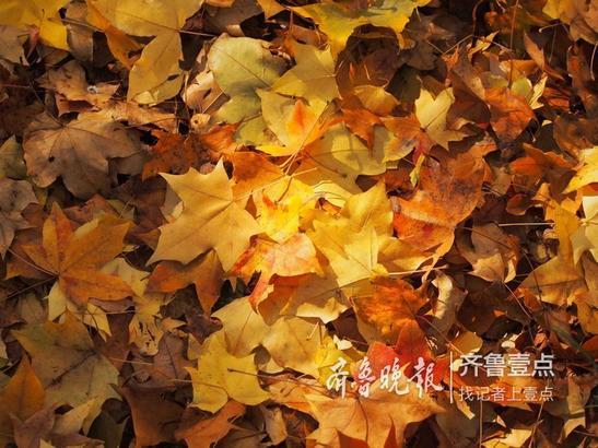 满园金色的树木和落叶构成了极美的风景。清洁工们说,领导让留着这些落叶不扫了,就为了让大家看个够,美个够。  齐鲁晚报·齐鲁壹点记者 周青先 摄
