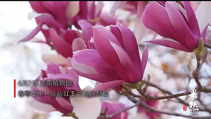 果然视频 济南最后一片红玉兰在东郊植物园怒放谢春