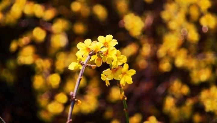 果然视频|拥抱金色阳光,济南大片迎春花丛变金色海洋