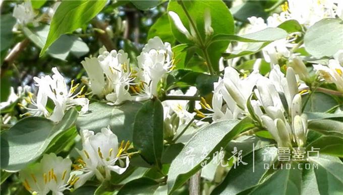 大家或许都听说过金银花,但是金银花和金银木并不是同一种植物,金银木是一种落叶灌木,而金银花是一种草本植物。但金银木和金银花相似的是,两者全身都是宝,金银木的根部和花,叶都是中药。