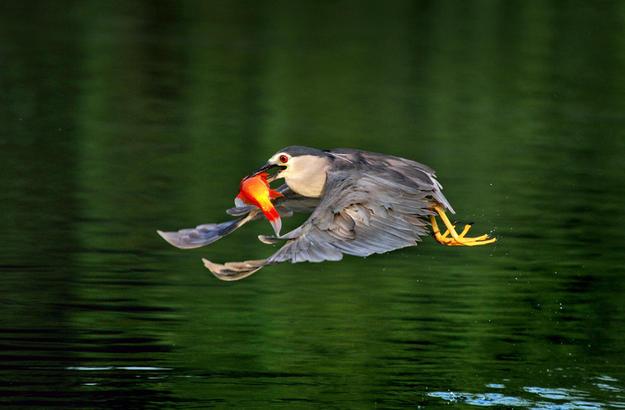 微山湖是一个诗意之湖,盈盈荷香和起落的鸟影,将湖的静与动,色与形,自然流淌在一张静静铺开的湿漉漉的巨幅宣纸上,宣泄着大自然的诗情画意。    齐鲁晚报·齐鲁壹点通讯员 刘均峰  记者 黄广华