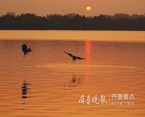 随着天空慢慢放亮,明湖上空东部被逐渐染红,越来越红,不一会初升的太阳透过树木撒在湖面上,顿时波光粼粼,兴奋的小鸟撒欢似的嬉闹,捕鱼竞赛,给美丽的明湖的早晨更添精彩! 钟福生 10月11日摄于济南