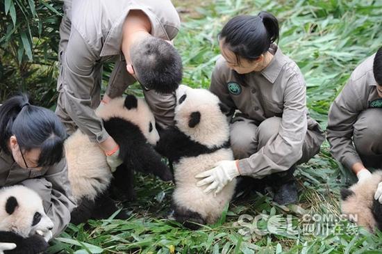 (来源:四川在线 原题:2017级大熊猫宝宝集体亮相) 编辑:甸花
