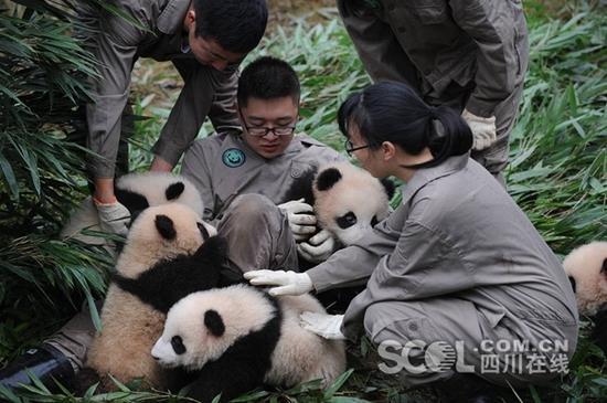 在卧龙神树坪基地,工作人员将19只新生熊猫宝宝集合在幼儿园。宝宝们或打盹、或行走,或相互玩耍,可爱的样子萌翻众人。