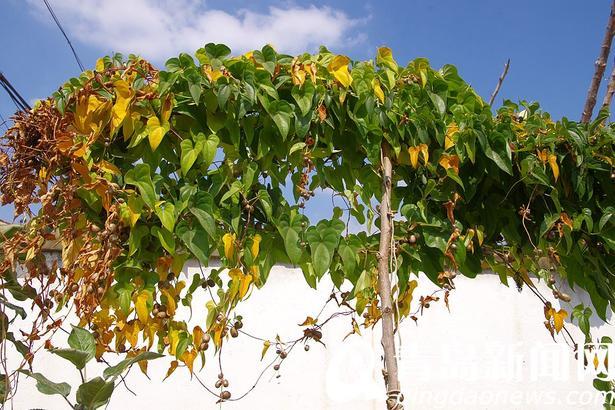 山药大家都常吃,它的枝叶你见过吗?