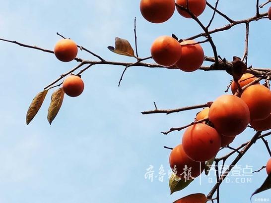 """10月13日上午,壹粉""""秋冬""""向齐鲁晚报官方新闻客户端齐鲁壹点情报站发来一组图片,金秋十月,又到了收获的季节,长清的荷柿早已丰盈饱满,像一颗颗鲜红的小灯笼沉甸甸地压弯了枝头,模样甚是可爱。"""