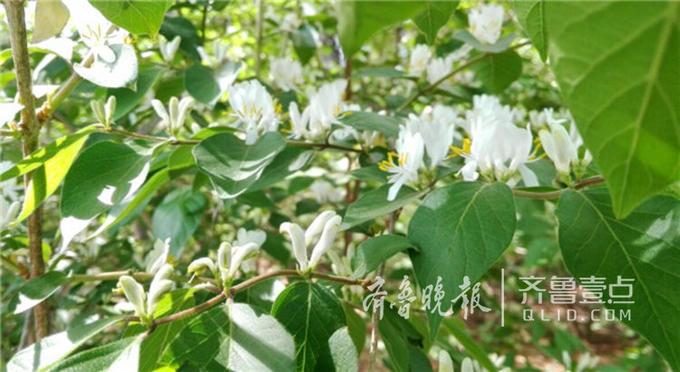花刚开的时候是白色的,以后随着时间的推移,花朵会逐渐变成黄色,所以就有了