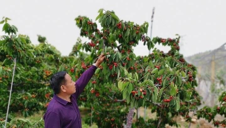 果然视频|大樱桃中最甜的黄蜜下周要上市了