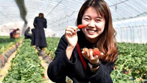 青岛西海岸大场草莓开始采摘,20余优质品种亮相
