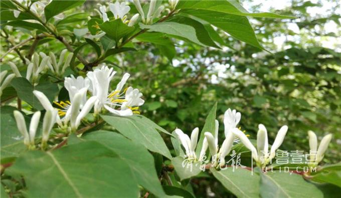 据了解,这种小白花叫做金银木,也叫金银忍冬。