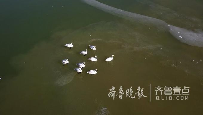 13日,这场近两年罕见的极低温天气令济南北郊的水面大部分冰封,在这里越冬的几十只天鹅去向和吃饭问题令人担忧。