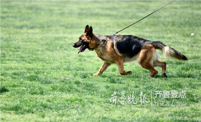 6月2日,2019年德國牧羊犬山東地方展在山東省棗莊市臺兒莊古城祥和莊園景區舉行。
