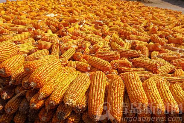 玉米大丰收。
