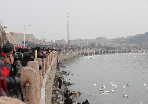 山东荣成已经成为大天鹅栖息越冬的第二家乡,每年十月份准时归来,翌年春天回迁。曲振平 摄