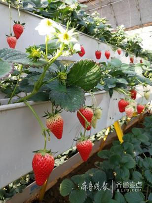 12日,在莱阳市谭格庄镇高家村的扶贫大棚里,红彤彤的草莓在绿叶的掩映下从无土立体种植槽里成片地垂下来,就像一排排的小灯笼,从外观上就让人垂涎不已。摘一个品尝,草莓果肉细致,没有一点空心。