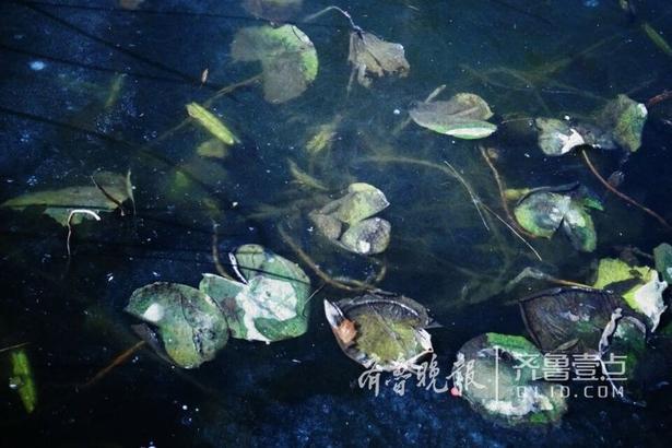 11日,济南市区温度降至零下10℃,大明湖公园铁公祠荷花池内的荷花冰封其中,别样美丽。(齐鲁晚报•齐鲁壹点记者 左庆 摄)