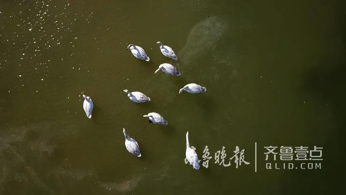 目前烟墩角等天鹅聚居地的天鹅都有人类辅助播撒食物,济南的天鹅是否也需要?要长久地留住天鹅,相关专家们最好也能考察下。 齐鲁晚报 齐鲁壹点 记者 周青先摄