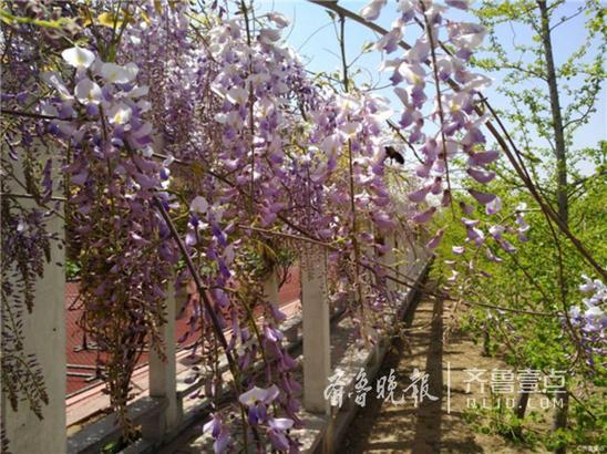 在日照市东港区后村中学,紫藤花开正当时,远远看去像似一挂紫色瀑布,美翻了。