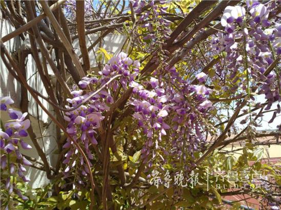 """4月17日,日照壹粉""""了凡""""向齐鲁晚报官方客户端齐鲁壹点情报站发来一组紫藤花开的美图。"""