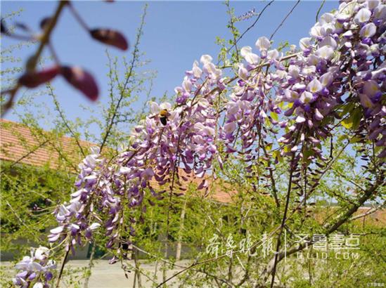最美人间四月天,阳光和煦,微风不燥,花开繁盛,满树紫藤倾泻而下,美成了瀑布。