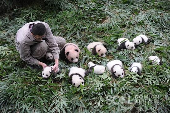 在雅安碧峰峡基地,17只新生熊猫宝宝集合在白熊坪圈舍,排列成三行队伍,最后一排的宝宝们由奶爸奶妈抱着,集体向公众问好。截止目前,2017年中国大熊猫保护研究中心共繁育大熊猫30胎,成活42仔,大熊猫繁育数量创历史最高。