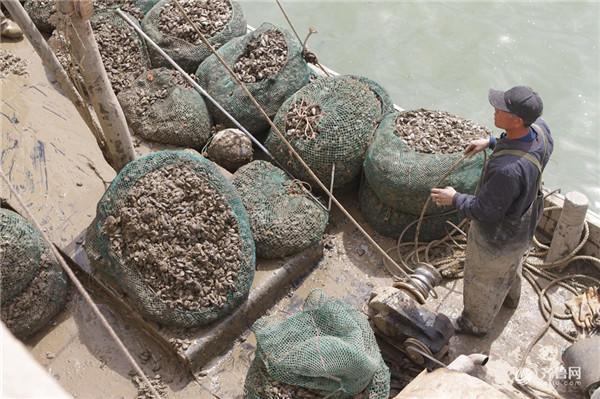 """牡蛎也叫海蛎子。眼下正值海蛎子收获季节,今年日照养殖海蛎子大丰收,产量较往年增加不少,但价格却不如往年。 据了解,臧家荒村位于日照市经济技术开发区南部,村子南边就是黄海,俗话说""""靠山吃山,靠海吃海"""",这里的大部分村民也都以海为生。从2012开始,10多户村民开始尝试大规模养殖海蛎子并获得可观效益,在他们的带动下,村里80%的养殖海域,有一半以上都养殖了海蛎子,成了一个名副其实的""""海蛎子村""""。"""