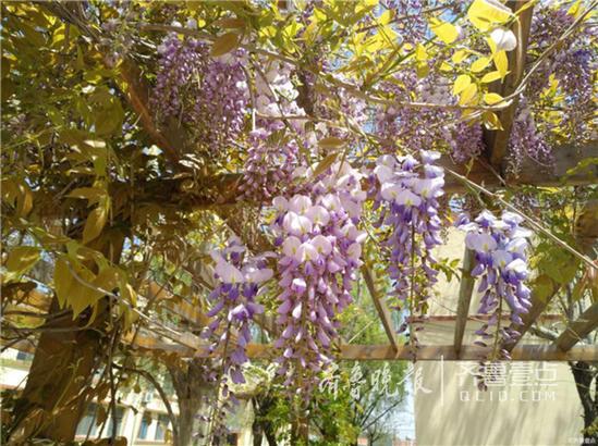 湛蓝的天空下,一串串的紫藤花悬挂在树枝上,仿佛一串串小铃铛,叫醒了春天,鸣响一片春意盎然。