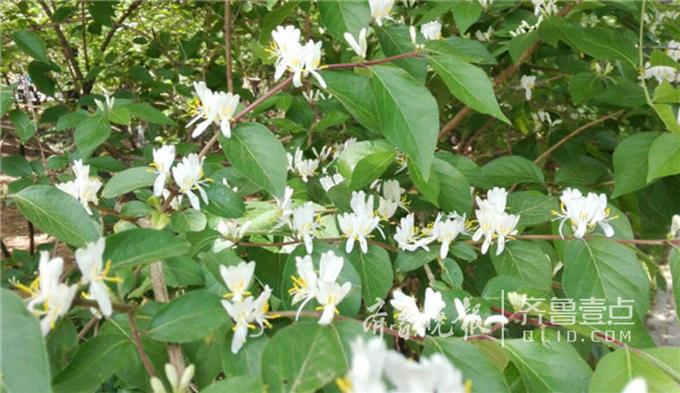 近日,在济南千佛山上,路边灌木丛中开出了一簇簇细小的小白花。