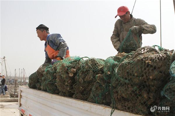 2018年4月15日,山东日照,位于臧家荒附近的黄海中心渔港,一片热闹景象—渔民们忙着从渔船上吊运牡蛎,停靠在码头上的货车,牡蛎堆成了小山。一些周末游玩的游客也来到码头上买一点新鲜的牡蛎。今年的牡蛎又肥又大,而且价格也不贵,10元钱就能买4斤,这让吃货们欢呼雀跃。