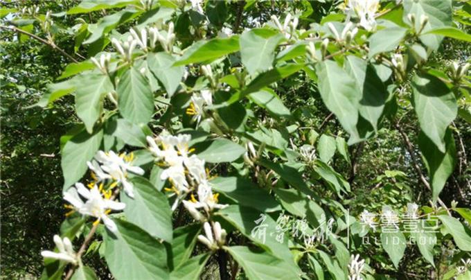 你或许不认识金银木这种植物,但如果你看到过它的果实一定会留下深刻的印象:因为它的果实很是惹眼,是一个个鲜红透明的小红豆,晶莹剔透,就像一粒粒红玛瑙,颜值特别高。