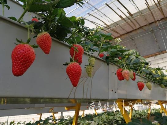 据谭格庄镇党委副书记刘永涛介绍,高家村,是省定扶贫工作的重点村,这个现代化的立体种植草莓大棚是谭格庄镇2017年对该村的扶贫项目之一,配套的无土栽培草莓设备,种植槽里都是用的有机质,发展有机草莓采摘。