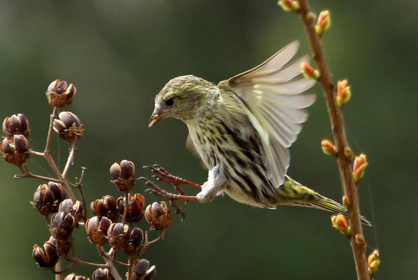 3月31日,在山东省枣庄市文化广场,一只小鸟在春日丛林间飞舞觅食。 情报员:吉喆 摄影
