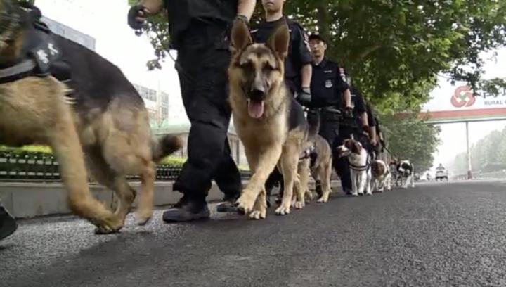 果然视频 禹城警犬队上街巡逻啦!萌萌哒,猛猛哒!